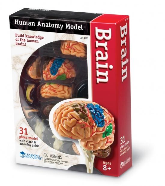 Anatomický model mozku : 765023033359