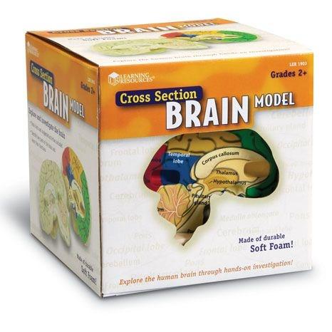 Anatomický model mozku : 765023019032